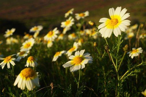 18-02-21 a Argyranthemum Margerite